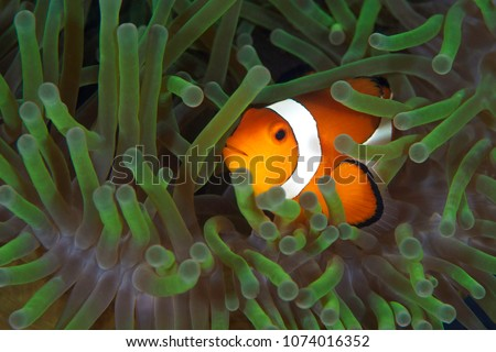 Clown fish inside anemone  #1074016352