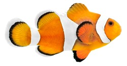 Clown fish isolated in white background (Amphiprion ocellaris)
