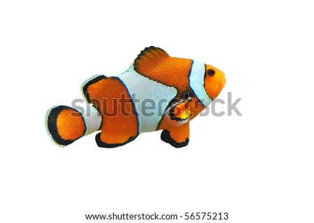 Clown fish isolated in white background (Amphiprion percula)