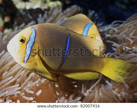 Clown fish of Rangiroa atoll - stock photo