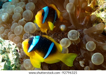 Clown fish of Red Sea