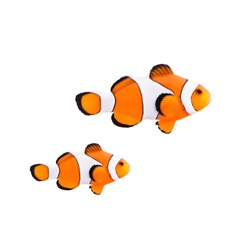 Clown fish or anemone fish isolated on a white background.
