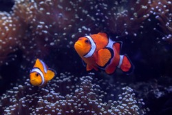 Clown fish that swim along the coral reef under the sea.