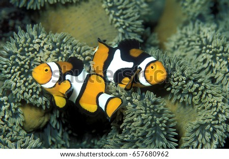 Clown fishes, Amphiprion percula, Trobriand Islands, Papua New Guinea.