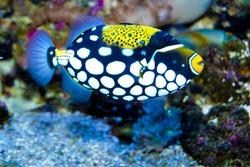 Clown Trigger Fish in Aquarium
