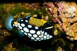 Clown Triggerfish (Balistoides conspicillum) in Aquarium