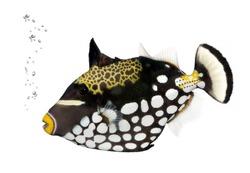 Clown triggerfish, Balistoides Conspicillum, in front of white background, studio shot