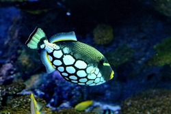 Clown triggerfish, Balistoides conspicillum  is marine fish live in the coral reef under the sea. it's popular to used as a pet in an aquarium.