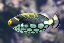 Clown triggerfish (Balistoides conspicillum) seen from the side with corals in the background