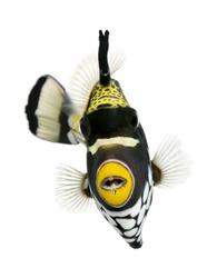 Clown triggerfish, Balistoides conspicillum, swimming against white background, studio shot