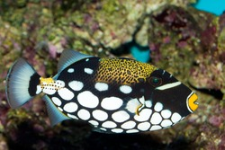 Clown Triggerfish in Aquarium