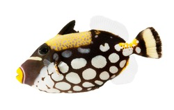 clown triggerfish, reef fish, isolated on white background