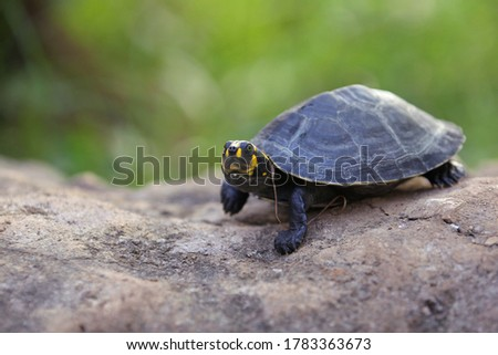 Clown turtle or yellow-spotted Amazon river turtle or yellow-spotted river turtle is one of the largest South American river turtles.