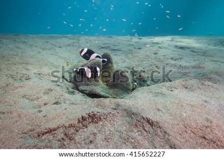 Clownfish #415652227