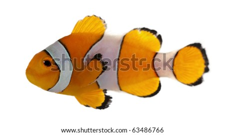 Clownfish, Amphiprion ocellaris, in front of white background