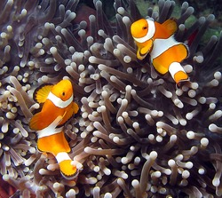 Clownfish, Amphiprion ocellaris, in Lankayan island, Borneo.