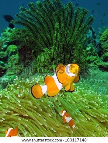 Clownfish, Amphiprion ocellaris, in Lankayan island, Borneo.