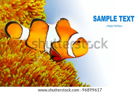 Clownfish (Amphiprion ocellaris) - marine life background with space for your text.