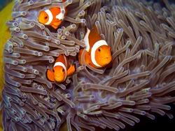 Clownfish (Amphiprion ocellaris) or Nemo in sea anemone