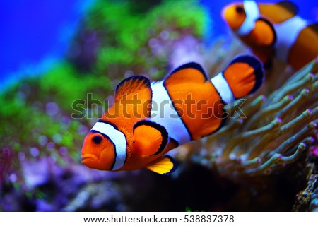 clownfish and anemones in reef tank