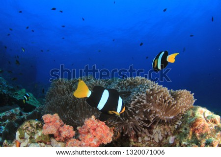 Clownfish anemonefish fish on coral reef  #1320071006