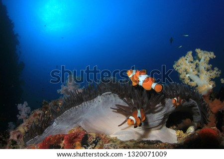 Clownfish anemonefish fish on coral reef  #1320071009