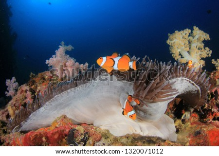 Clownfish anemonefish fish on coral reef  #1320071012