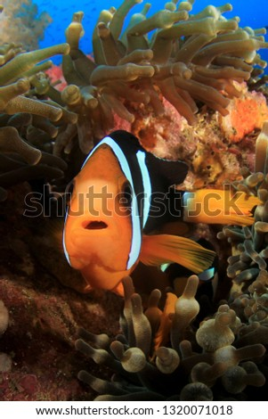 Clownfish anemonefish fish on coral reef  #1320071018