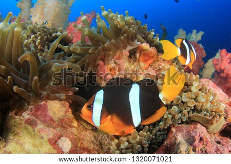 Clownfish anemonefish fish on coral reef  #1320071021