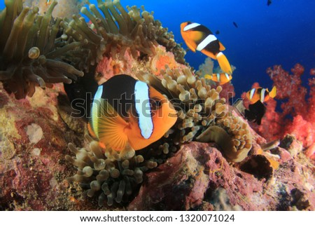 Clownfish anemonefish fish on coral reef  #1320071024