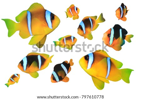 Clownfish anemonefish tropical fish isolated on white background