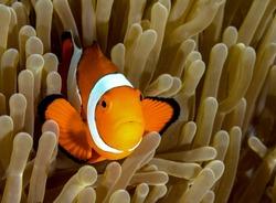 Clownfish from Moalboal cebu diving