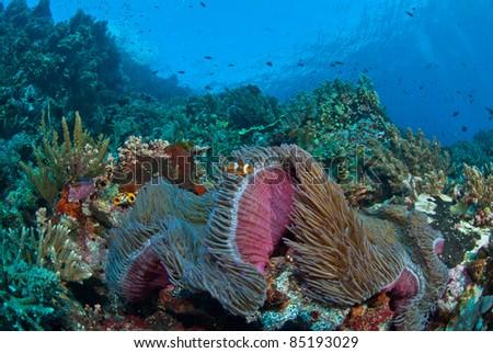 Clownfish in a general reef scene, Raja Ampat, Indonesia