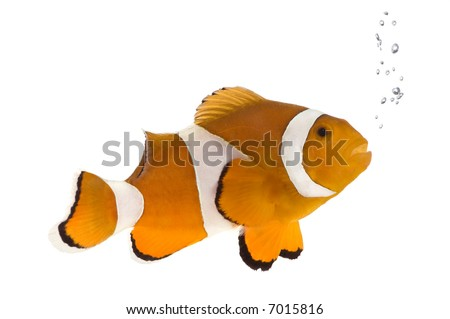 Clownfish in front of a white background