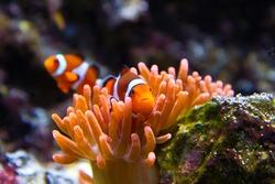clownfish in marine aquarium