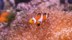 Clownfish in marine aquarium. Famous salt water fish. Saltwater aquarium