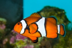 Clownfish in Saltwater Coral Reef Aquarium