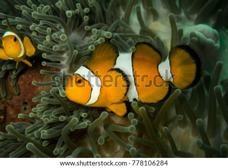 clownfish in Thailand #778106284