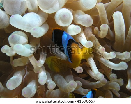 clownfish inside its anemone