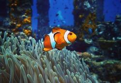Clownfish Marine Life Anemone Reef