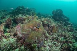 Clownfish Nemo coralreef thailand underwater