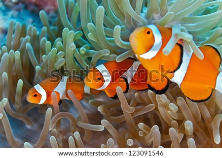 Clownfish on the soft coral