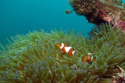Clownfish or Anemonefish are fishes from the subfamily Amphiprioninae in the family Pomacentridae. Sipadan island Malaysia.