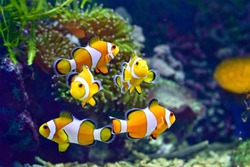 Clownfish or better known as clown fish are fish from the children of the Amphiprioninae tribe in the Pomacentridae tribe