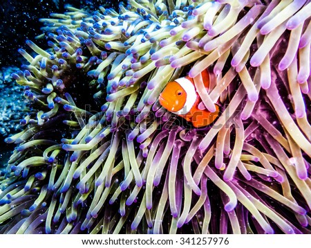 Clownfish peaking out of an anemone. Taken while diving at the Great Barrier Reef, Queensland, Australia. #341257976