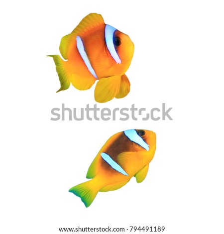 Clownfish (Red Sea Anemonefish) fish isolated on white background