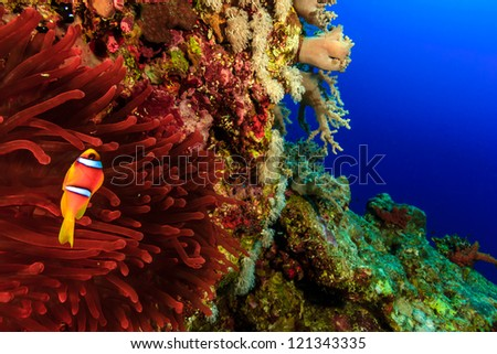 Clownfish swimming around its vivid red anemone on a coral reef outer wall in deep water