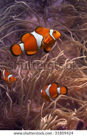 Clownfish - tropical fishes