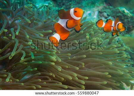 Clownfishes in anemones on the ocean bottom #559880047