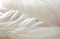 Clposeup of side greater Flamingo feathers